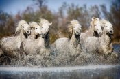 white-camargue-horses-of-southern-france-600x400.jpg